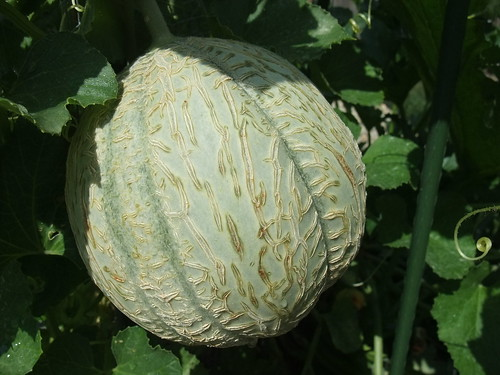 From My Garden: Muskmelon 8/13/09