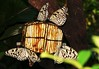 Breakfast at Butterfly's (MyszEK.) Tags: world trip travel holiday nature lumix singapore asia butterflies snap panasonic animalplanet dmcfz50 beautyofthenatureworld myszek polacyfotografujący ourworldofnature natureislovely closeupmacrophotography fotopolonia fotografki fotocyfer fascinationandloveoflife ewakulon