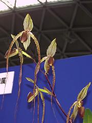 Paphiopedilum Prince Edward of York (Ben Naden) Tags: orchid japan nagoya