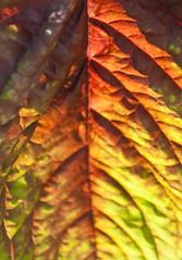 Turning over an old leaf (alan shapiro photography) Tags: summer leaf colorful canonrebel veins 2009 nybg newyorkbotanicalgardens alanshapiro ashapiro515 canonrebelt1i 2010alanshapiro alanshapirophotography wwwalanwshapiroblogspotcom 2010alanshapirophotography