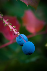 Blue (J.Hernetkoski) Tags: blue red macro green nature closeup garden leaf nikon bokeh 2009 pargas parainen d90 airisto 1850f28