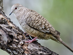 Inca Dove - Harlingen, Texas-- Rio Grande Valley (davidcreebirder) Tags: texas dove riograndevalley incadove harlingentexas avianexcellence nikond300 nikon500mmafsvr
