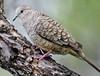 Inca Dove - Harlingen, Texas-- Rio Grande Valley (davidcreebirder) Tags: texas dove riograndevalley incadove harlingentexas avianexcellence nikond300 nikon500mmafsvr