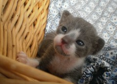 Micro-kitty (Dora X) Tags: cats baby cute kittens meimei graycat 0monthsold