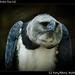 Harpy eagle, Belize Zoo (2)