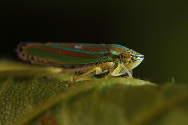 Leafhopper (Graphocephala versuta)