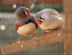 Pair of Zebra finches (the.deanery) Tags: uk england birds olympus aviary zebrafinches e500 fourthirds aviculture birdkeeping