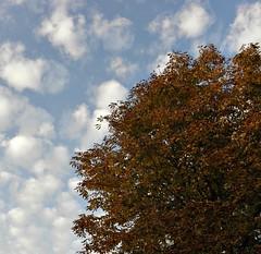 Chestnut tree autumn colours (Elisabeth, Kelev, Tama, Mazal) Tags: autumn netherlands herfst boom chestnuttree kastanje autumnleaf herfstblad nederlandvandaag