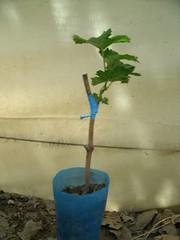 Novedosa técnica de injerto en plantines de vid reduce costos
