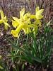 narciso peeping tom (nociveglia) Tags: daffodil narciso narcissus