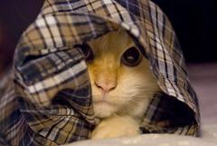 Simon the cat playing in pajamas