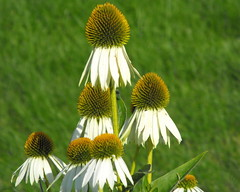 white coneflower (Gloria1207) Tags: summer white flower echinacea background blurred coneflower mygarden gmm1207 gloria1207