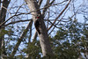 Pileated Woodpecker (Dryocopus pileastus) (Anders Illum) Tags: newyork bird canon woodpecker unitedstates ithaca canoneos sixmilecreek dryocopuspileatus pileatedwoodpecker picus canonef70200mmf40lusm dryocopus picidae spætte canon400d picuspileatus amerikansksortspætte