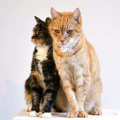 Lean on me (edwindejongh) Tags: pictures friends cats pets animal cat katten chat friendship posing together commercial katze van sabine der ensemble miauw redcat miaow catportrait trained animalphotography poseren catfriends animaltrainer geposeerd fotomodellen kattenportret kattenliefde animalhandling vanderhelm tvcat edwindejongh kattenkwaad famouscats dierentraining kattenvriendschap roodharigekater poserendekat catvertise sabinevanderhelm modelkatten reclamekatten kittydependency dierenmodel animalonwhite animalwhitebackground dieropwit dierwitteachtergrond dierenmodellen dierencasting animalmodellingcappcappdierenfotoscats