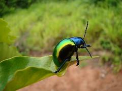 Coleptero (Fred Ovinha) Tags: bug soe potofgold besouro coleptero impressedbeauty ovinha natureselegantshots quatsp