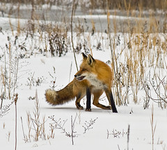Hungry Fox (smbrooks_2000) Tags: winter wild snow newyork wildlife fox hungry redfox hudsonvalley naturesfinest otw topshots mywinners diamondclassphotographer flickrdiamond ysplix goldstaraward fantasticwildlife goldenheartaward eatingarodent