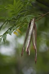 Seed bokeh HBW (Eduardo Deboni) Tags: seed semente hbw bej abigfave platinumphoto