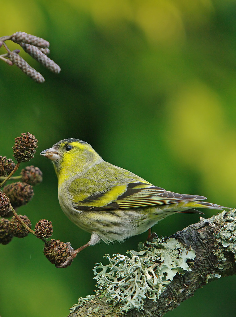 Saturday Siskin