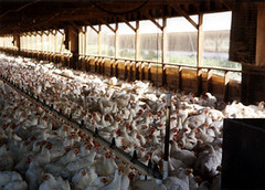 Inside a Barn on a Chicken Factory Farm