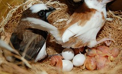 5 hatched and 3 to go (jungle mama) Tags: bird birds nest egg finch finches breeding hatch rainbowfinch nesting hatchling breedingfinches ladygouldian societyfinch gouldianfinch erythruragouldiae chloebiagouldiae babybirdinnest gouldsfinch societyfinches surrogateparent aviaryoutsidemykitchenwindow aviarywindow raisingfinches kitchenaviary raisinggouldians babyfincheswithfullstomachs babyfincheswitheyesclosed breedsocietyfinches hatchlingliftshead hatchlinginnest babybirdwithmouthopen fincheggshatching newbornfinches societyfinchesmating finchesmating redpurpleandyellowgouldian societyfinchesassurrogateparents