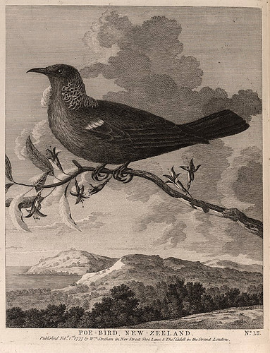 018-Pajaro Poe en Nueva Zelanda