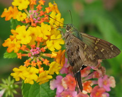 Long-tailed Skipper on lantana (Vicki's Nature) Tags: yard canon butterfly georgia searchthebest skipper vivid lantana s5 longtailedskipper urbanusproteus supershot colorphotoaward unature specinsects colourartaward natureoutpost macromarvels goldstaraward vickisnature beautifulworldchallenges 20top20flowerswithbugs bwcgcolorfulnature supershotcontestmarch0209 readygame bwcgu readymother