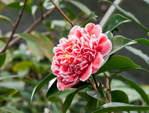 A camellia hybrid created by John Wang