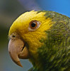 Love the eye (annkelliott) Tags: canada calgary bird nature birds lumix parrot explore alberta endangered ornithology avian calgaryzoo naturesfinest interestingness99 i500 annkelliott avianexcellence yellowheadedamazonparrot fz18 panasonicdmcfz18 vosplusbellesphotos p1110429fz18 explore2009april25