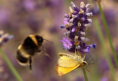 I want that bit of Lavender (saxonfenken) Tags: game flower garden dof bokeh lavender skipper bee superhero e510 july5th 6989 thechallengefactory yourock1stplace july510 herowinner pregamewinner 6989insect