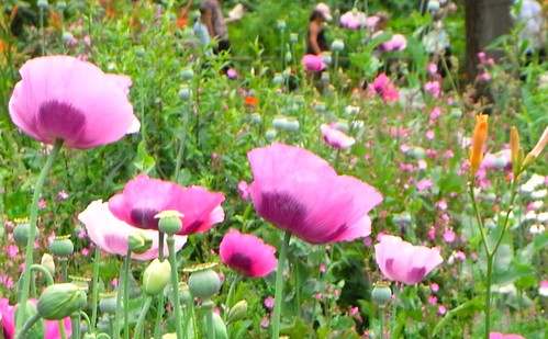 Monet's Purple Poppies in Giverny