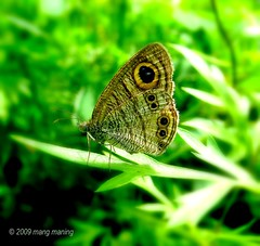 FP: Happy Butterfly Wednesday (mang M) Tags: butterfly insect philippines lepidoptera explore papillon mariposa frontpage filipinas pilipinas flyinginsect lycaenidae nymphalidae pieridae papilionoidea riodinidae insekto specinsect pinoykodakero paroparo napwc mangmaning2000