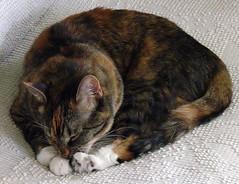 Gracie 6 July 2009 7696b (edgarandron - Busy!) Tags: cats cute cat gracie feline tabby kitty tortoiseshell grooming kitties tortie torbie