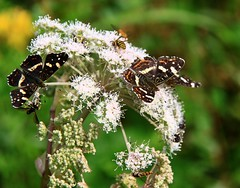 (:Linda:) Tags: white flower animal butterfly germany insect thringen thuringia blume wildflower schmetterling thuringian wildblume brden vilalge weiseblume