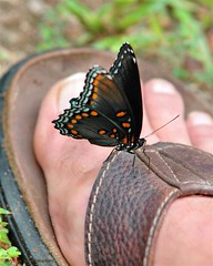 sweet feet (wmspics) Tags: butterfly insect purple explore momentstoremember theunforgettablepictures giftsfromnature wmspics