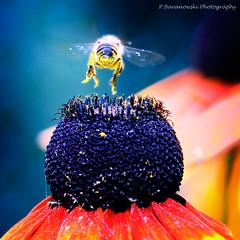Fly Away (© Pawel Baranowski) Tags: macro animals explore extensiontube ef70200f4l zwierzaki canoneos30d canonef70200f4lusm canon70200mmf4usmnonis dslrcanon30d winnerbc