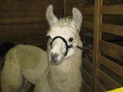 Baby Murol, llama