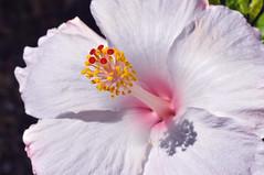 Hibiscus sundial (Big sis 4C) Tags: flower hibiscus mygarden hibiscuswonder