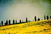 Siena - Crete Senesi (Manlio Castagna) Tags: trees texture yellow meadow crete siena manlio cretesenesi texturized manliocastagna manliok