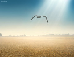 Freedom Starts Here (Ben Heine) Tags: morning light summer mist art fog composition print landscape freedom countryside fly search wings warm poetry poem peace belgium god lumire couleurs seagull horizon spot poetic nikond70s ufo digitalpainting libert zomer crop harmony future unknown balance minimalism migration sunrays t copyrights campagne offspring mouette dieu rayons ecosystem confidence paix lighteffect revelation highres ailes kleuren fullquality mattepainting vrijheid vliegen voler compositeimage wolnosc fullcolors descendance benheine braives conceptualphoto hubertlebizay hubzay saariysqualitypictures freedomstartshere flickrunitedaward lalibertcommenceici infotheartisterycom
