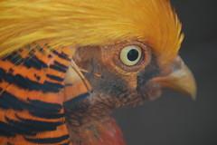 Golden Pheasant (gabriel_flr) Tags: birds pheasant peacock owl vgel hildesheim rotwild pasari nikond40 gabrielflr