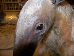 Close up of Pua's eye