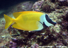 (H) Undersea_Fish 5366 (Michael Ozaki) Tags: fish nature photography michael underwater undersea corals ozaki