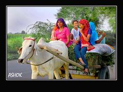 Home coming (ashok monaliesa) Tags: india smile women colours village joy happyness haryana