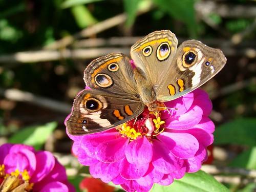 Buckeye Butterfly9-22-09 007
