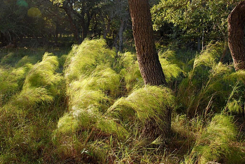 Muhlenbergia dumosa in the wind