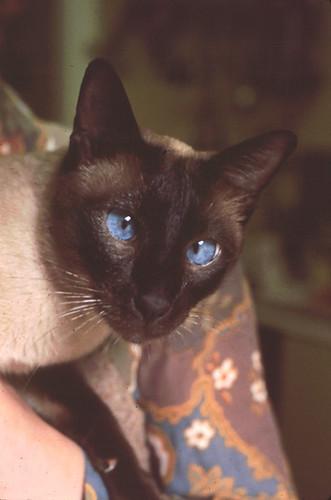 Our Siamese cat