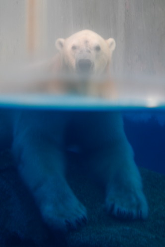 polar bear half body in water