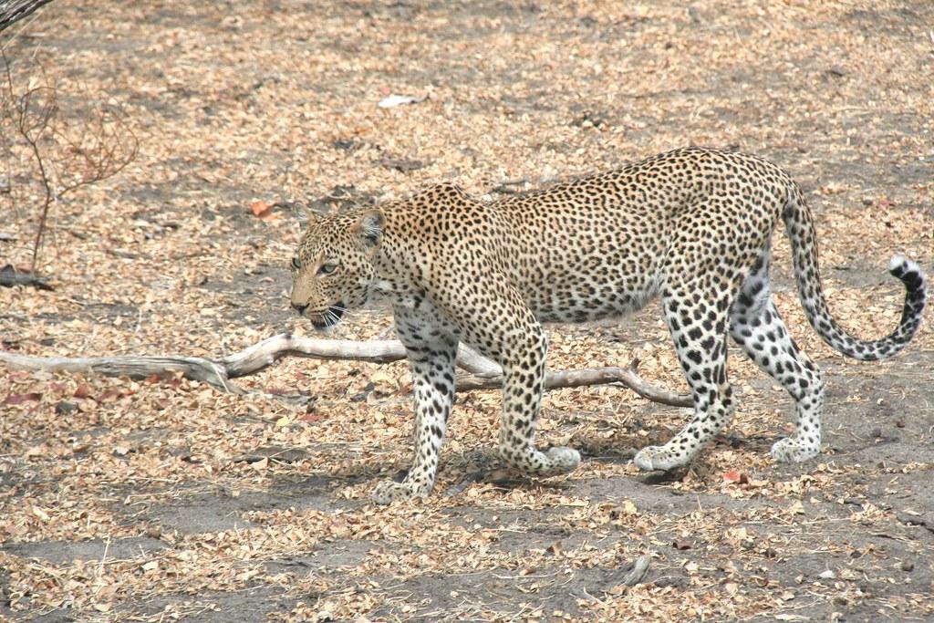 Leopard walking towards ambush - Selous GR, Tanzania