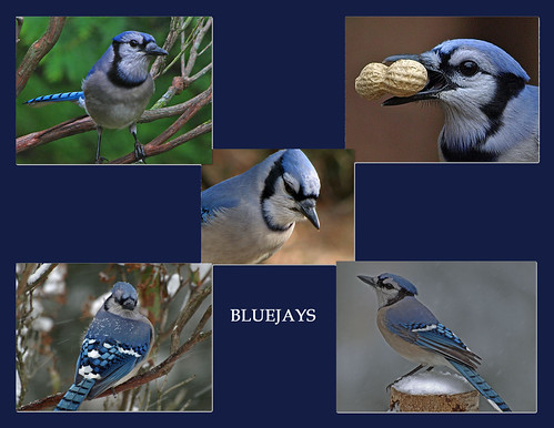 BLUEJAY COLLAGE copy