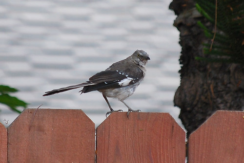 Northern Mockingbird, Santa Barbara